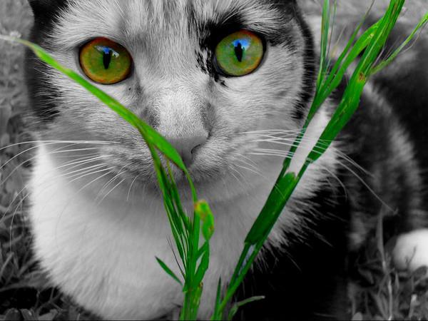 chat aux beaux yeux vert