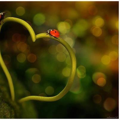 coccinelle sur un coeur