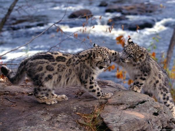 léopards des neiges
