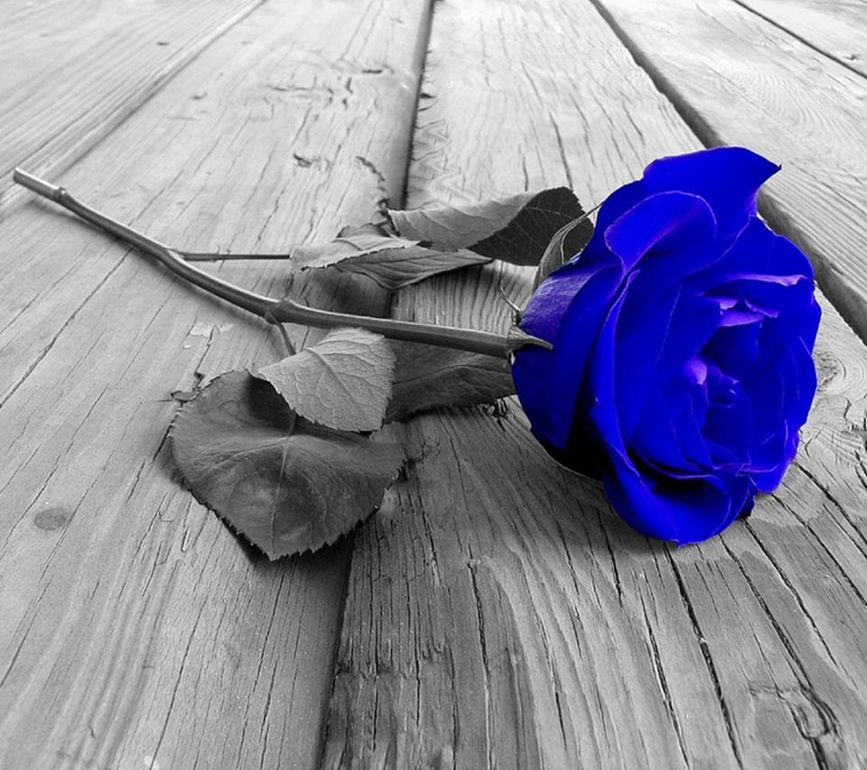 Belle Image Rose Bleu belle rose bleu