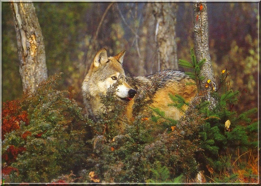 fond ecran loups - Page 2